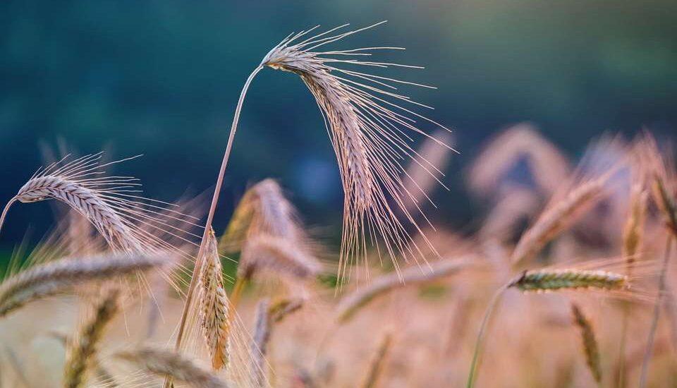 Технический регламент Таможенного союза 015/2011 «О безопасности зерна»